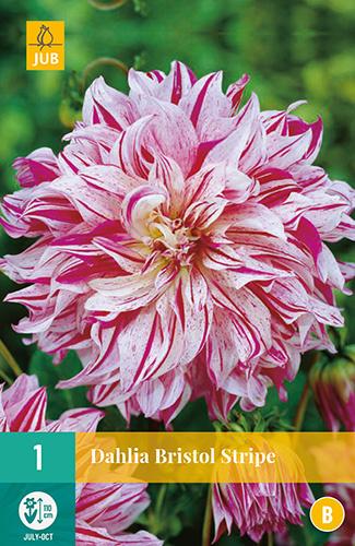 Dahlia decorative 'Bristol Stripe' 110 cm