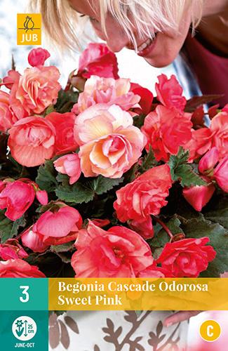 Begonia cascade 'Odorosa Sweet Pink'