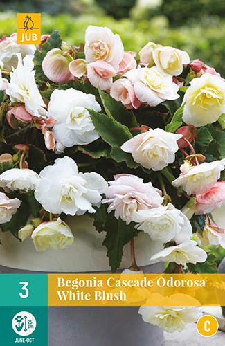 Begonia cascade 'Odorosa White Blush'
