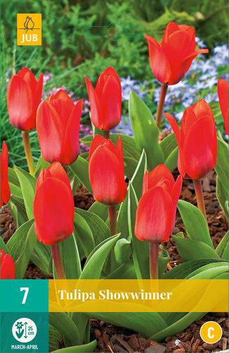Tulipa kaufmanniana 'Showwinner'