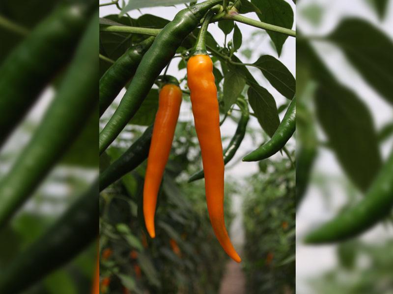 Peper 'Koh Tao', Capsicum annuum Biologisch