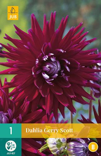 Dahlia cactus 'Gerry Scott' 80 cm