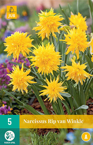 Narcissus botanisch 'Rip van Winkle'