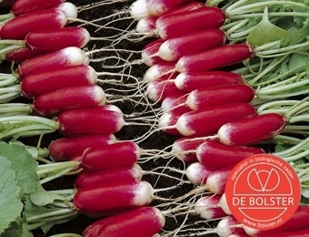 Radijs 'French Breakfast 2', Raphanus sativus var sativus Biologisch