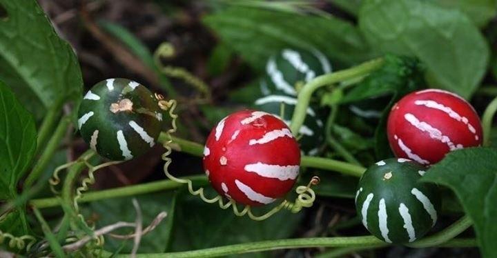Kerstklimmer, Diplocyclos palmatus