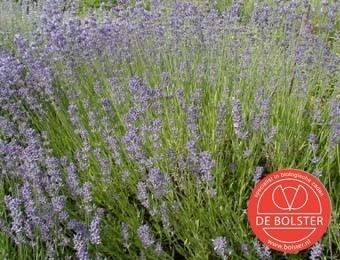Lavendel, Lavandula angustifolia Biologisch