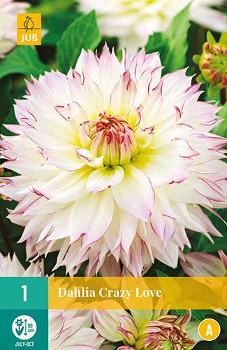 Dahlia decorative 'Crazy Love' 90 cm