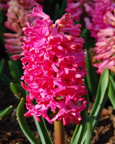 Hyacinth enkelbloemig 'Jan Bos'