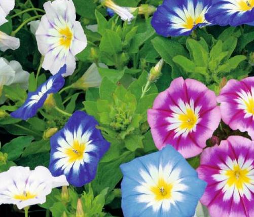 Convolvulus tricolor mix, Dagschone