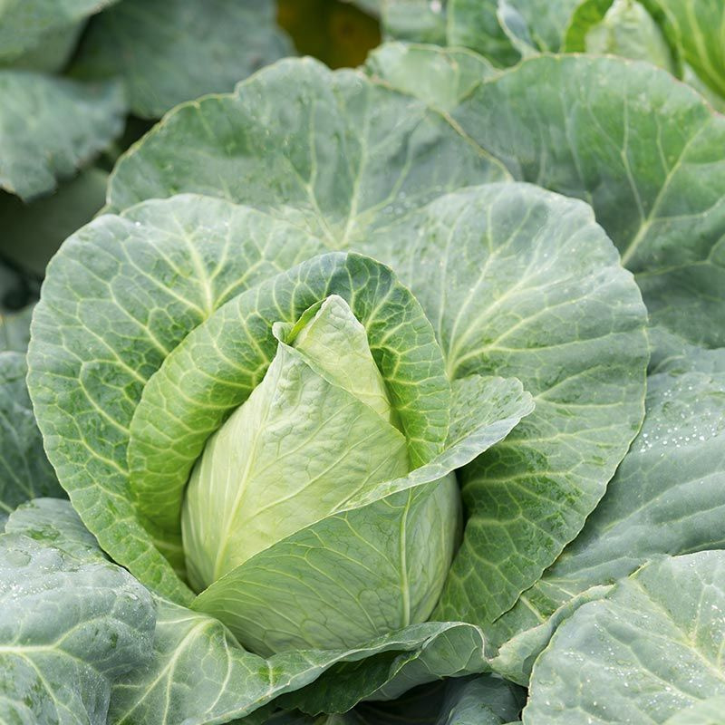 Spitskool 'Caraflex F1', Brassica oloeracea var. alba Biologisch
