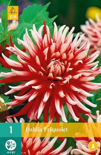 Dahlia cactus 'Friquolet' 140 cm