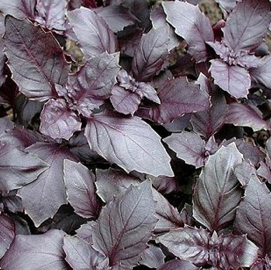 Basilicum rode, Ocimum basilicum Biologisch