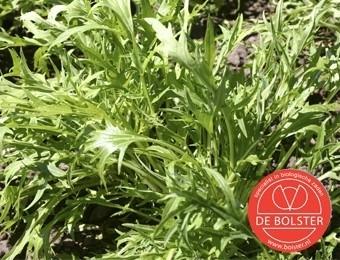 Raapsteel 'Mizuna', Brassica rapa subsp. campestris Biologisch