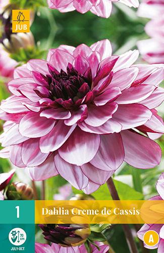 Dahlia decorative 'Creme de Cassis' 70 cm