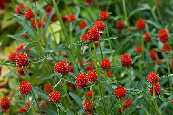 Gomphrena haageana 'Strawberry Fields', Mexicaanse kogelamaranth