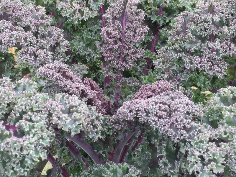 Boerenkool rode 'Redbor F1', Brassica oleracea var. laciniata