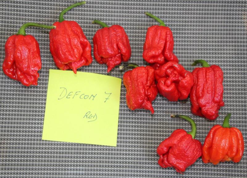 Peper 'Defcon 7 Red', Capsicum chinense