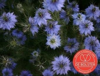 Nigella damascena, Juffertje in het groen Biologisch