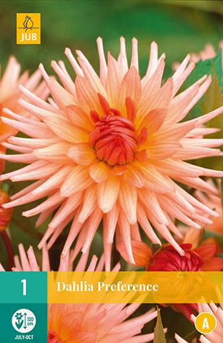 Dahlia cactus 'Preference' 120 cm