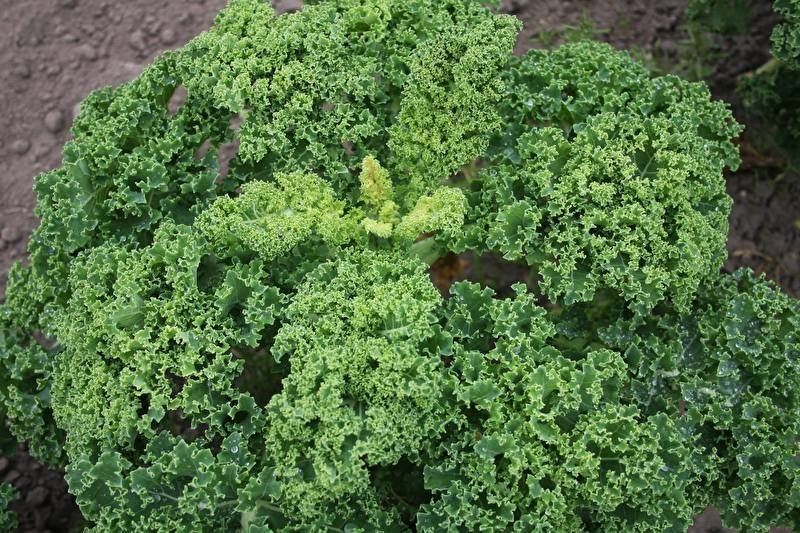 Boerenkool 'Westlandse Winter', Brassica oleracea var. laciniata Biologisch