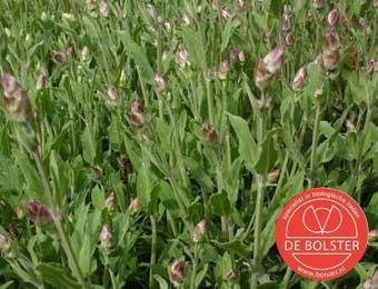 Salie, Salvia officinalis Biologisch