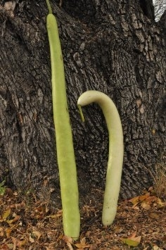 Fleskalebas 'Cucuzi', Lagenaria siceraria