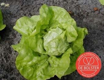 Kropsla 'Twellose Gele', Lactuca sativa Biologisch