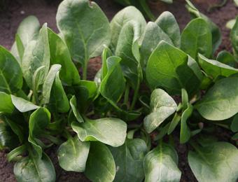 Spinazie 'Winterreuzen', Spinacia oleracea Biologisch