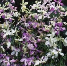 Matthiolia longipetala sub. bicornis 'Startlight Scentsation Mix', Avondviolier