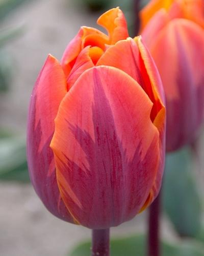 Tulipa enkel vroeg 'Prinses Irene'