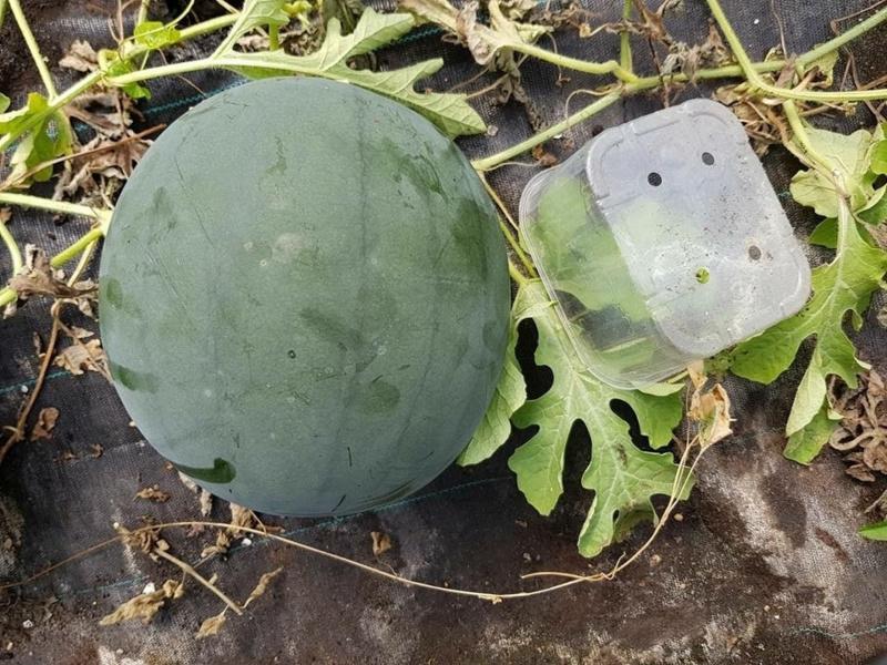 Watermeloen 'Red Star F1', Citrullus lanatus