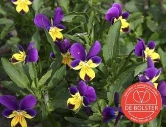 Viola tricolor, Driekleurig Viooltje Biologisch