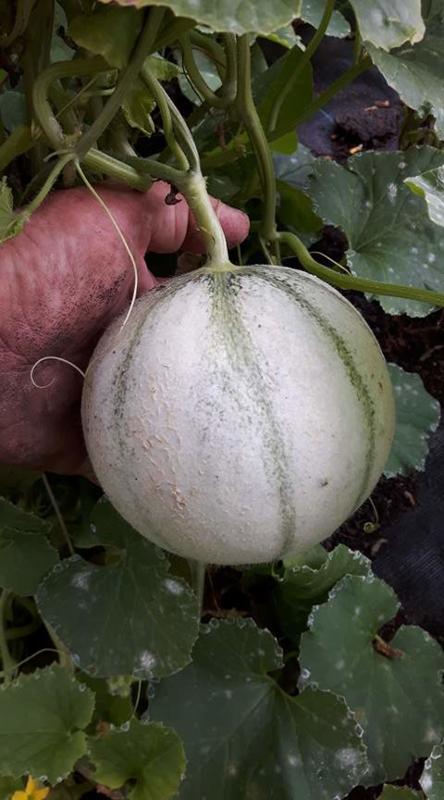 Kantaloupmeloen suikermeloen 'Artemis F1', Cucumis melo