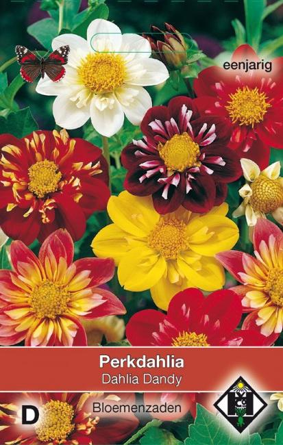 Dahlia variabilis 'Dandy', Dahlia