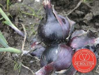 Ui 'Noordhollandse Bloedrode', Allium cepa Biologisch