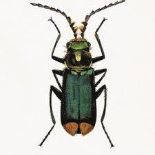 Vanilla Fly Poster - Bug - 20x25 cm