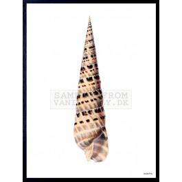 Vanilla Fly Poster - Schelp - 30x40 cm