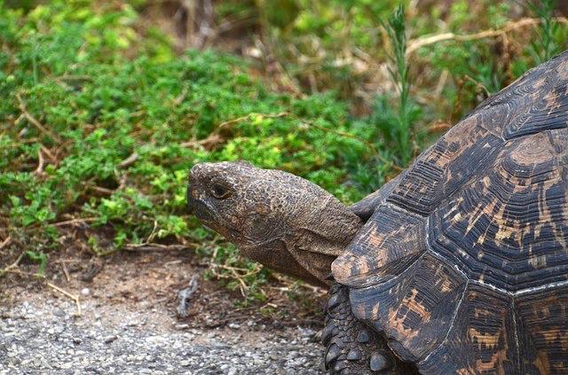 H099 --16mm-- De schildpad, korte natuur film over de schildpad, mooi van kleur, Engels gesproken, speelduur ca.10 min. compleet op spoel en in doos