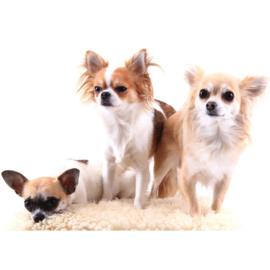 Fotobehang poster 4501 dieren hond chihuahua