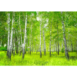 Fotobehang poster 0112 bomen bos berken