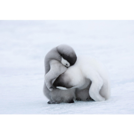 Fotobehang poster 1378 dieren baby pinguin