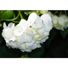 Fotobehang poster 1697 bloemen wit natuur planten