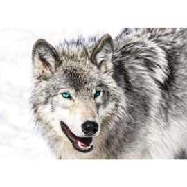 Fotobehang poster 1518 dieren hond husky blauwe ogen