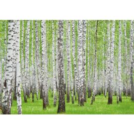 Fotobehang poster 0433 berken bos bomen natuur groen
