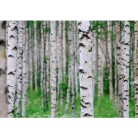 Fotobehang poster 0081 berken bos natuur bomen