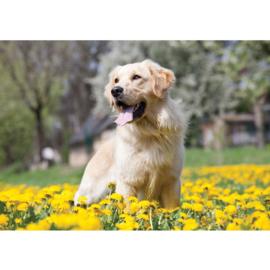 Fotobehang poster 4500 dieren hond golden retriever