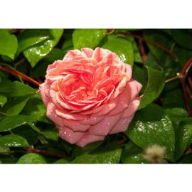 Fotobehang poster 2884 bloemen roos roze