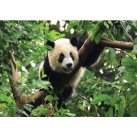 Fotobehang poster 0986 diueren pandabeer bamboe bos