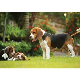 Fotobehang poster 4499 dieren hond beagle puppy