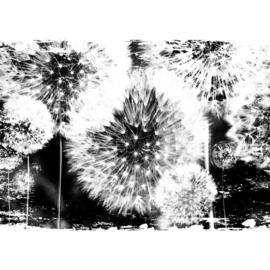 Fotobehang poster 1627 paardenbloem bloem zwart wit plant
